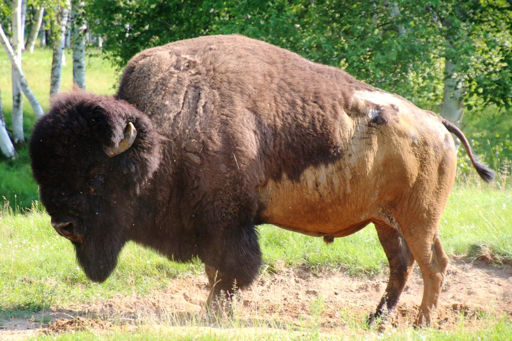 Ein Bison Männchen im Freigehege