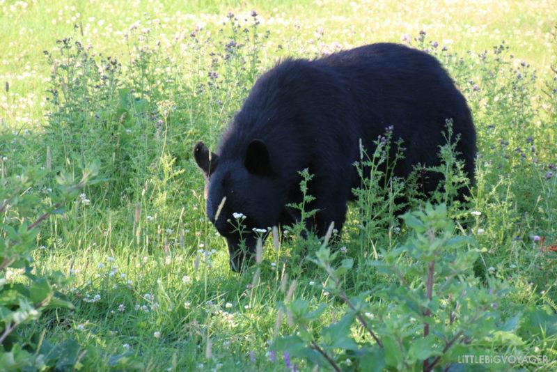 Schwarzbär im Freigehege - Zoo Sauvage