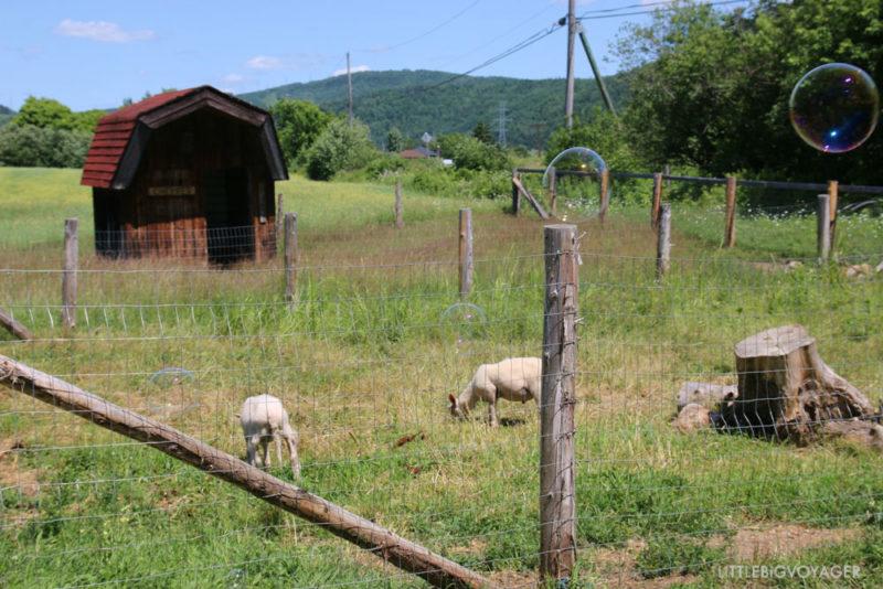 Ziegen im Minibauernhof Camping du Gouffre