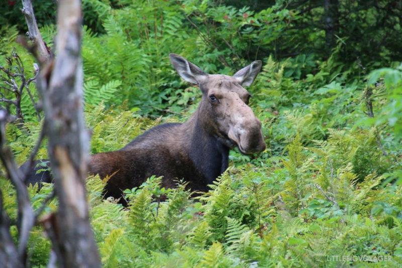 Moose oder Caribou auf Gaspésie