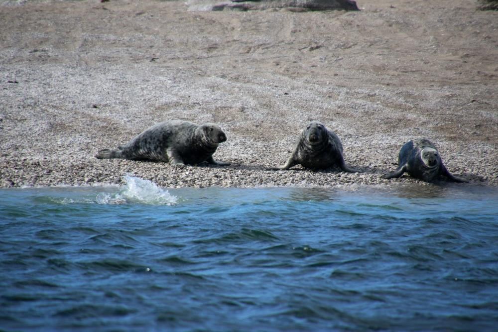 Robben am Strand im Mingan Archipel
