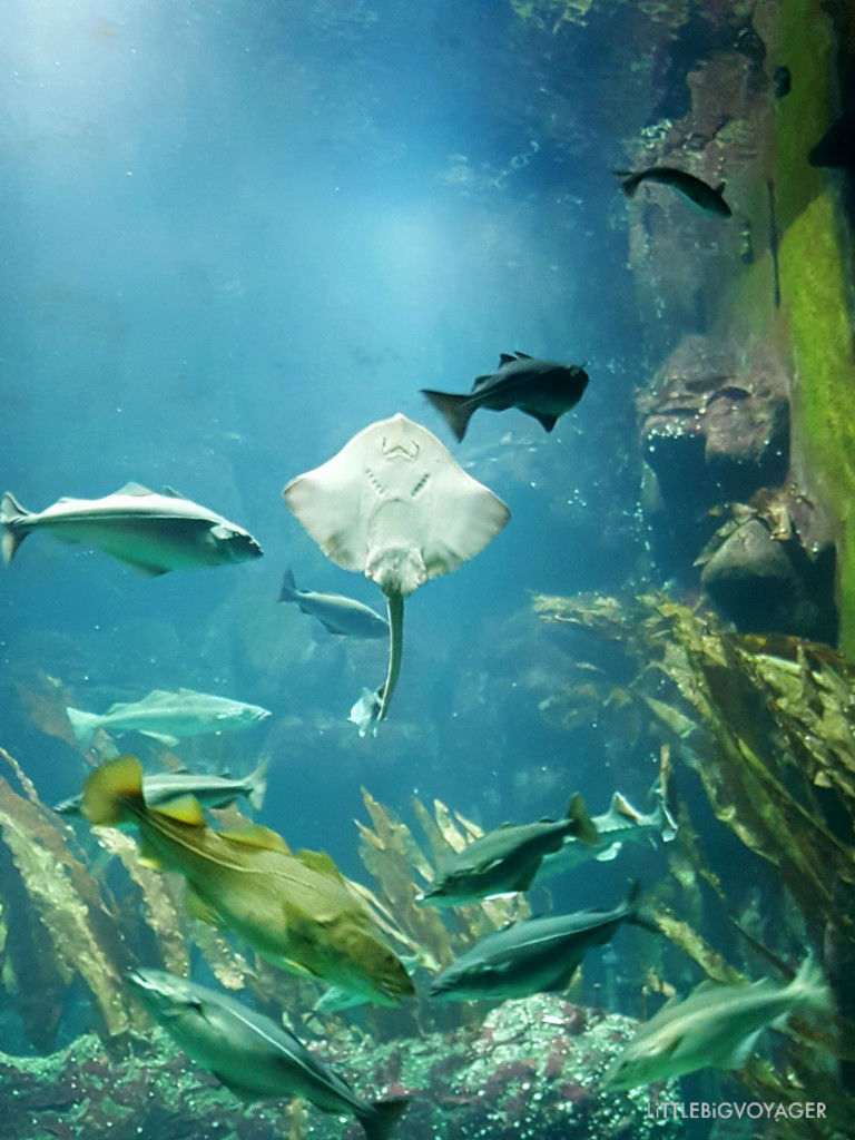 Rochen im Aquarium vom Wattforum