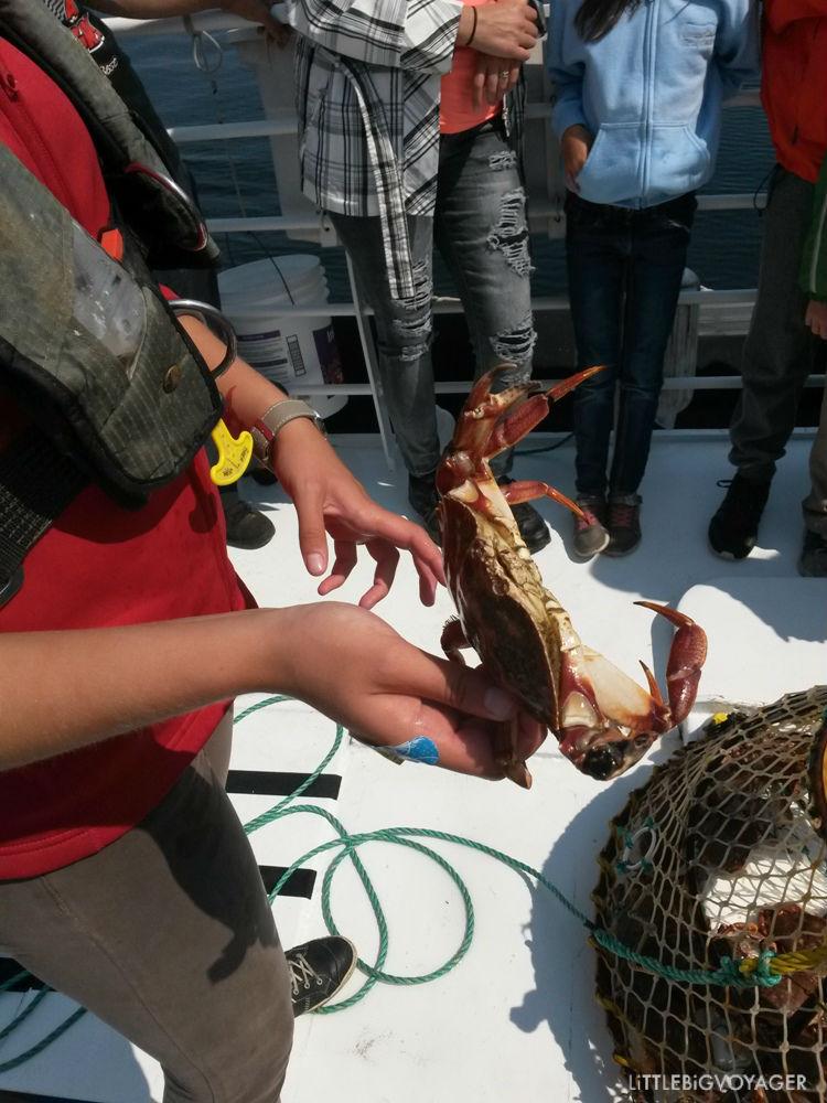 lebende große Krabbe