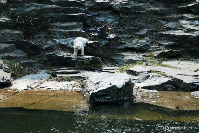Eisbärbaby Hertha auf dem Weg ins Wasser