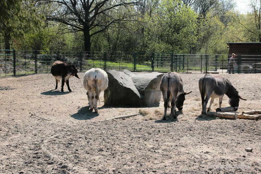 Eselhintern im Tierpark