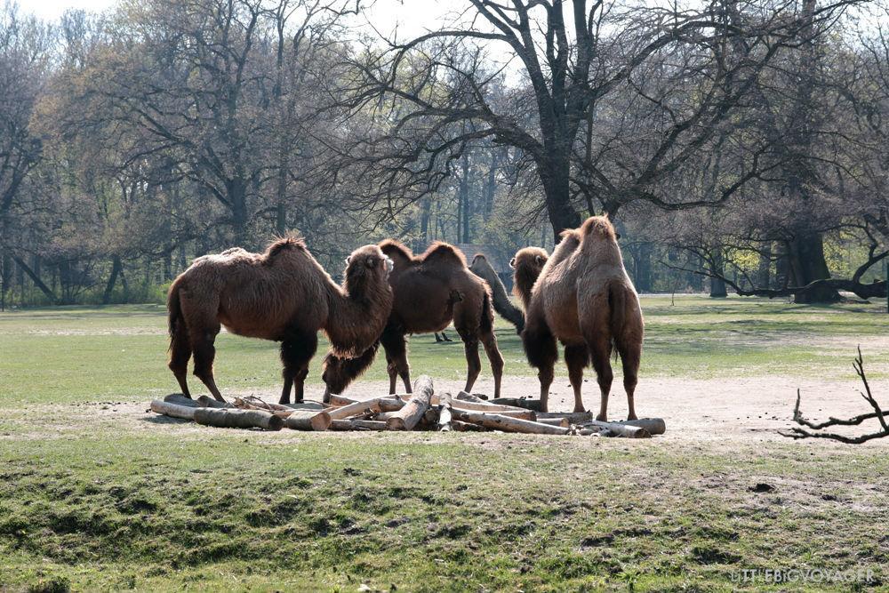 Kamele beim entspannten Grasen