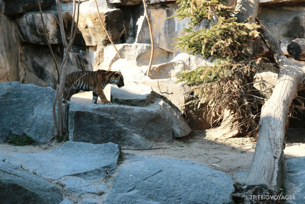 Tigerjunges im Tierpark Berlin