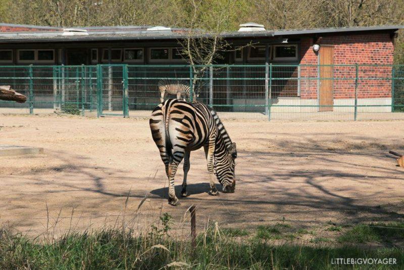Zebrahintern im Tierpark